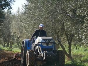 Entretien des oliviers à l'Oliveraie Jeanjean