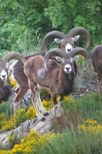 Observation des mouflons dans le cadre de la fête de la Transhumance 2018